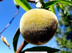 Купить саженцы персика Черкассы