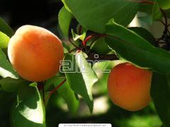 Саженцы плодовых деревьев оптом с фермерских