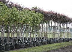 Саженцы деревьев купить в Украине