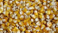Fodder corn 3rd class