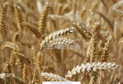 Wheat of the fourth class