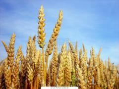 Wheat a fodder 1 class, for expor