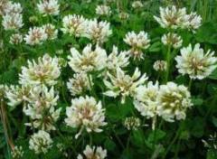 Τριφύλλι Trifolium ochroleucum