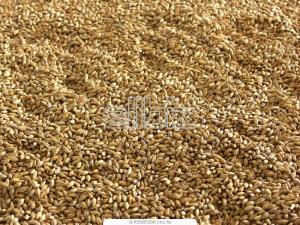 Malt barley brewing, export and across Ukraine