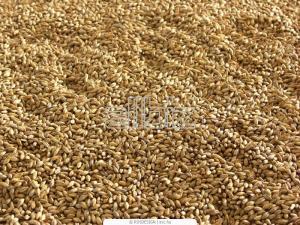 Malt barley brewing, export and across Ukraine