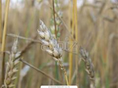 Wheat, barley, corn, buckwheat, sunflower, ripak,