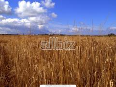Barley wholesale and retail, Barley from the