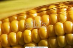 Corn from the producer.