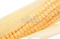 Corn grain. Corn grain from the producer. Corn