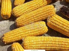 Кукуруза обыкновенная. Кукуруза обыкновенная оптом и в розницу, Кукуруза обыкновенная  цена вас удивит, Кукуруза обыкновенная от производителя.