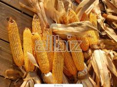 Sale of corn from the producer.