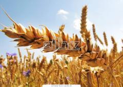 Семена озимой пшеницы от производителя.