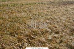 Fodder barley. Fodder barley wholesale and retail.