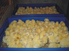 Цыплята бройлеры КОББ-500 в Сумах