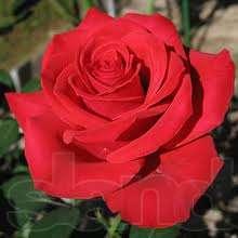 Розы для посадки