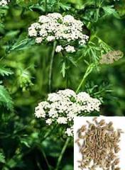 Anise color, herbs medicinal
