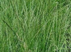 Семена кормовой травы Райграс многолетней и...