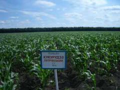 Кукуруза средне-ранние гибриды