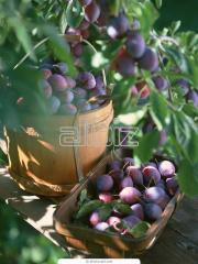 Saplings of plum of Voloshk