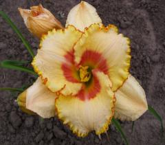 Landing material of a day lily