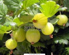 Gooseberry saplings sale, Ukraine