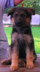 Puppies of a German shepherd long-haired and