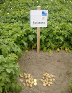 Картофель семенной сорт Наташа