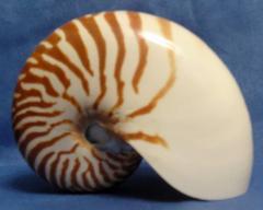 наутилиус помпилиус 15,2 - морская ракушка