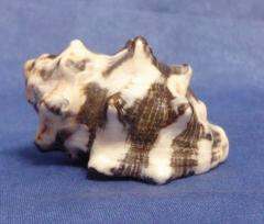 вазуум керамикум 5,6 - морская ракушка