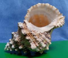 бурса бубо 16 - морская ракушка