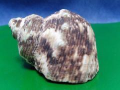 турбо жёлтый 6,1 - морская ракушка