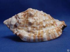 Морская ракушка - стромбус 7,8