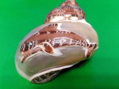 петхолатус с дельфином 6.2 - морская ракушка