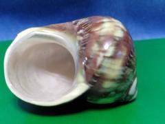 петхолатус 5,7 - морская ракушка