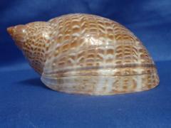 тонна пердикс 12,1 - морская ракушка