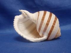 тонна полосатая 10,8 - морская ракушка