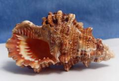 морская ракушка - буба 8,8