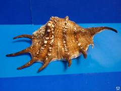Морская ракушка - лямбис 19,5