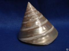 Морская ракушка - трохус полированный 5
