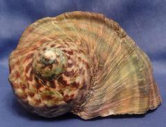 марморатус 19 - морская ракушка