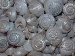 Морская ракушка - весовая - улитка перламутровая