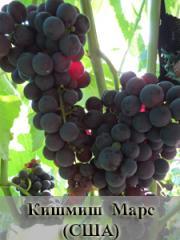Черенки винограда раннего созревания кишмишных