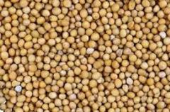 Желтая горчица в зернах. Продажа оптом на экспорт