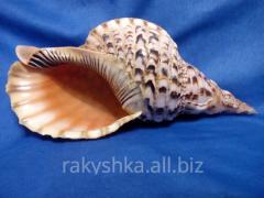 морская ракушка - рог тритона 33,7