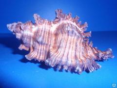 Морская ракушка - мурекс черный 8,5