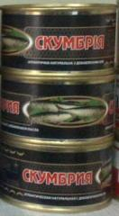 Fish canned food in Mackerel Atlantic tomato sauce
