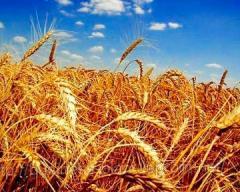 Биопрепарат для зерновых  и технических культур