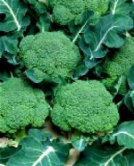 Cabbage of broccoli