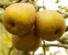 Saplings stocks pear VA-29 Conference