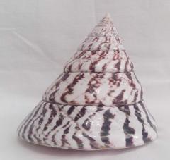 Ракушка морская -трохус 11,2